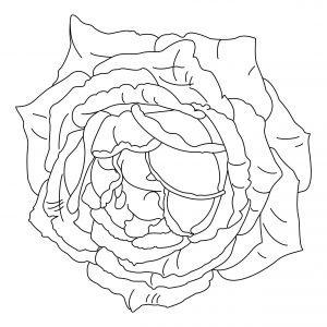 Kolejna róża